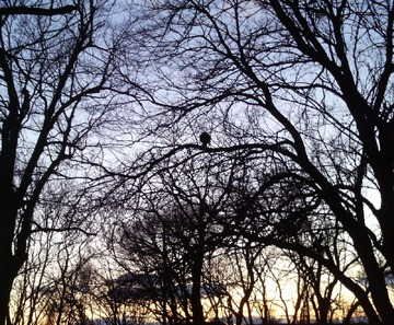 Maurice Greenia, Jr. Collections: Trees with Bird, at Sunset Detroit, March 2012